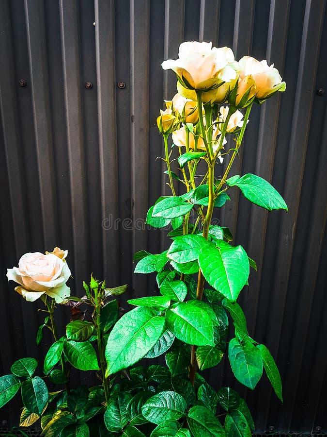 在长的词根的白色山毛榉玫瑰在庭院里 免版税库存照片