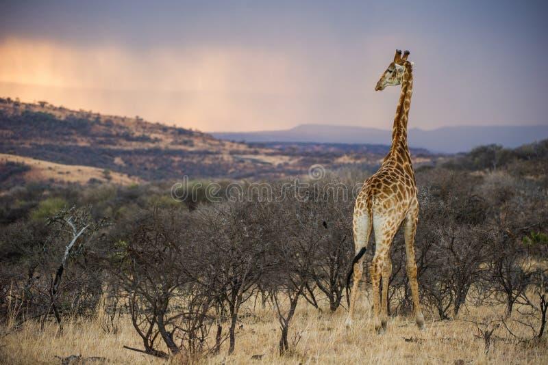 在长颈鹿南非的五颜六色的非洲日出 免版税库存照片