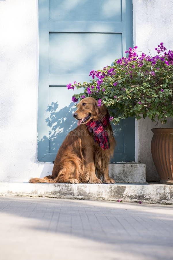 在门的一只金毛猎犬 免版税库存图片