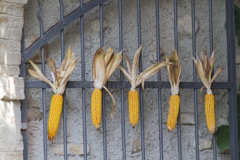 在门的玉米棒 库存图片