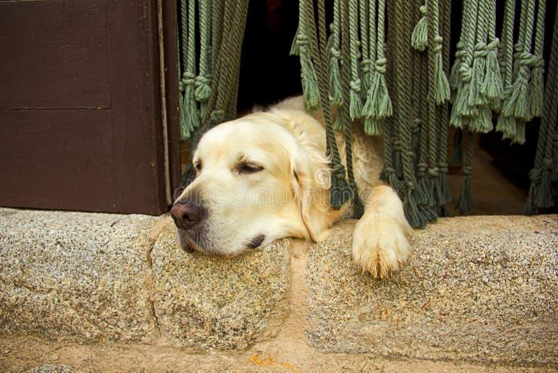 在门的金毛猎犬狗 图库摄影