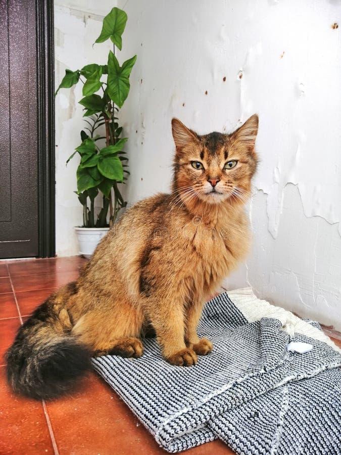 在门限的一只孤独的红色猫 免版税库存照片