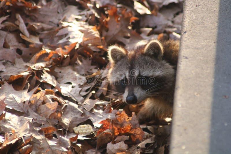 在门廊下的浣熊 免版税库存图片