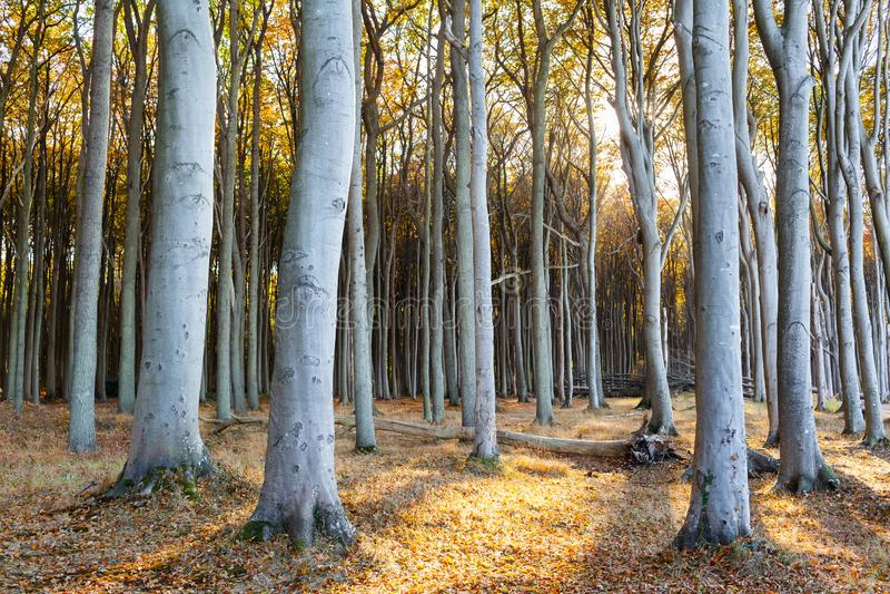 在阔叶烟草的森林的日落 图库摄影