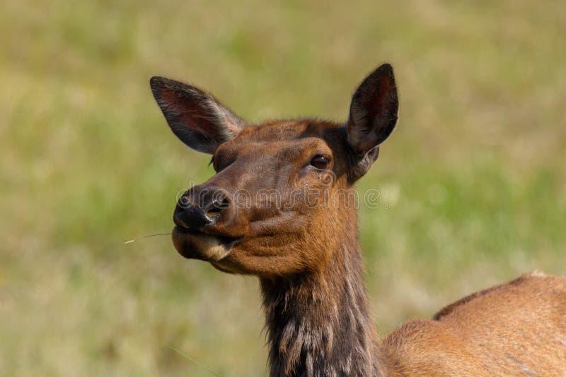 在阳光下嚼草的母麋 免版税库存照片