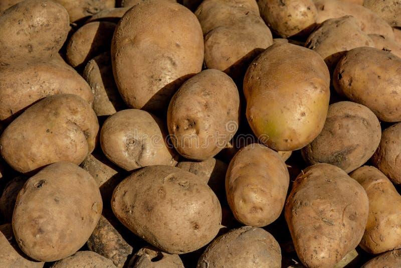 在阳光下的土豆 免版税库存图片