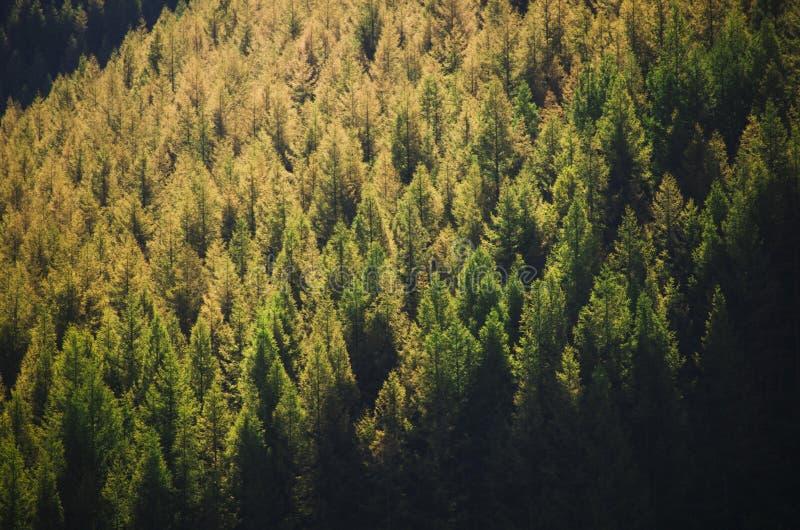 在阳光下的杉木森林 免版税图库摄影