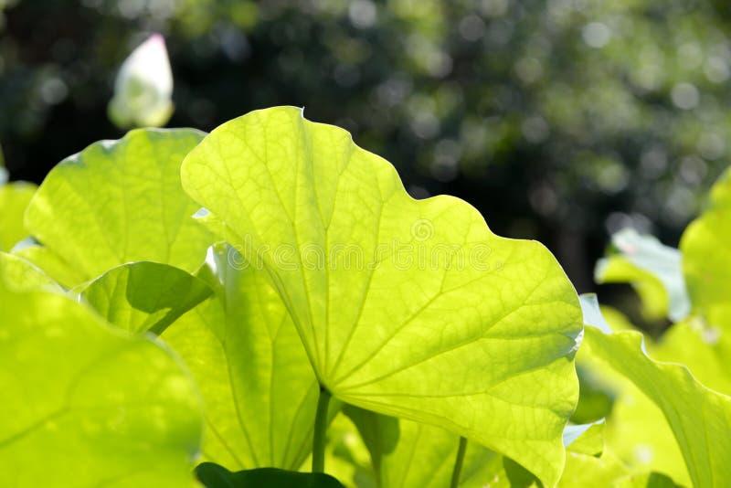 在阳光下的莲花叶子 免版税库存照片