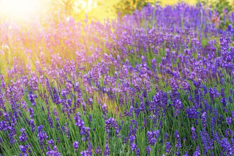 淡紫色在日落的灌木特写镜头 在淡紫色紫色花的日落微光  免版税库存照片