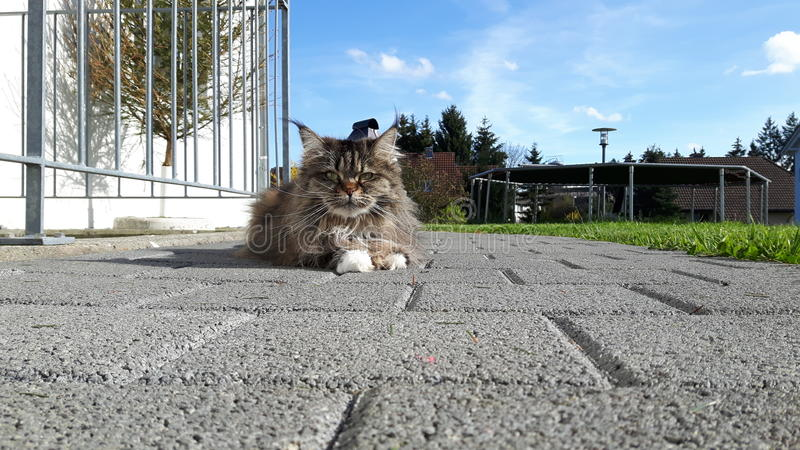 在阳光下美丽的猫户外, sommer 免版税库存照片