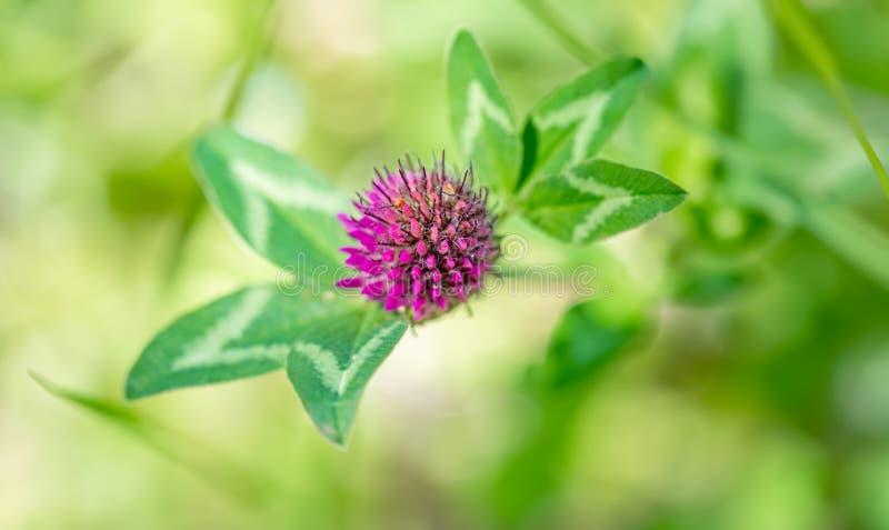 在阳光明媚的日子里,三叶草在绿色草地上开花 自然模糊背景 浅景深 色调图像 横幅 免版税库存图片