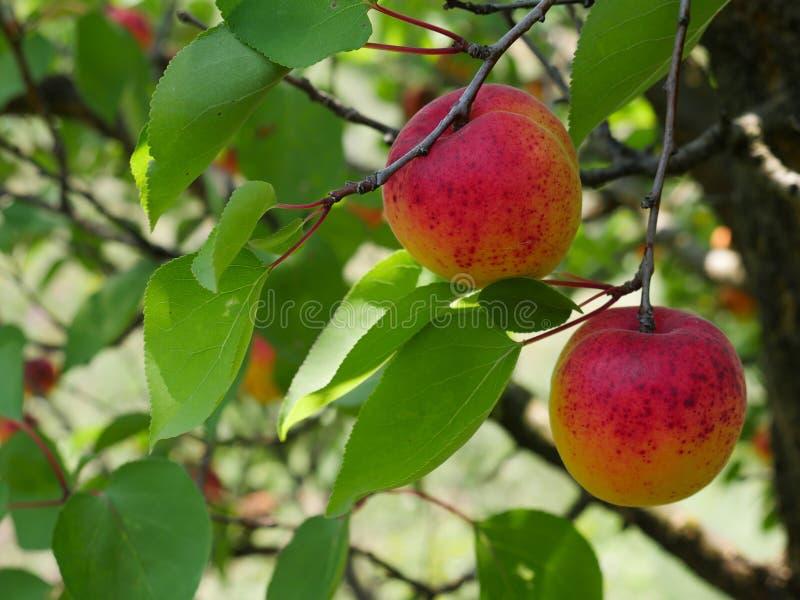 在阳光沐浴的杏子果子 免版税库存照片