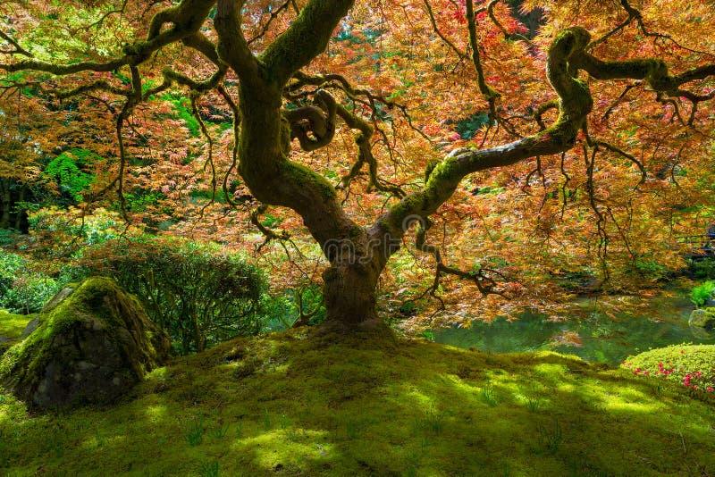 在阳光沐浴的鸡爪枫树 免版税库存图片