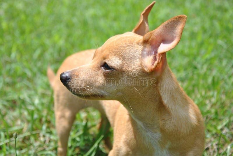 在阳光的奇瓦瓦狗强光 库存照片