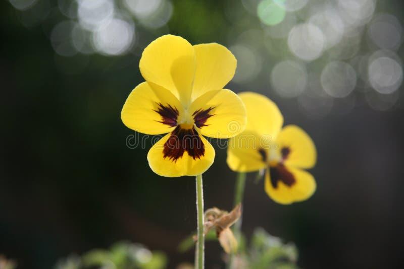 在阳光的黄色紫罗兰 免版税库存图片