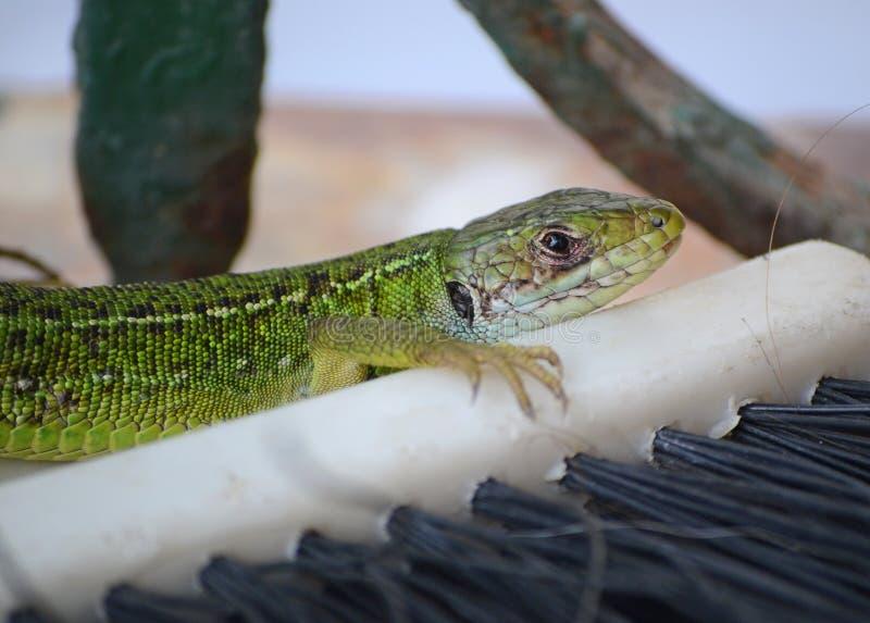 在阳台地板上的绿蜥蜴 库存照片