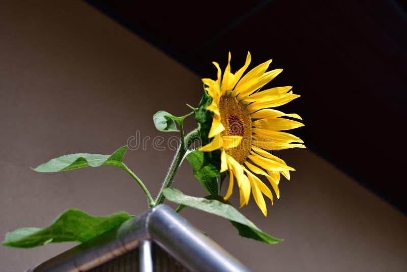 在阳台的向日葵 免版税库存照片