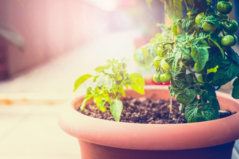 在阳台的生长有机菜 图库摄影