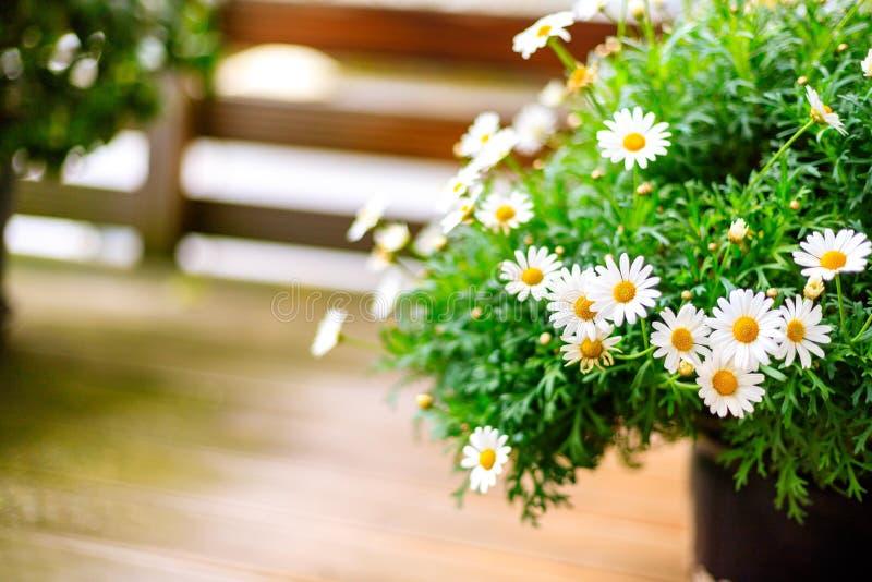 在阳台的白色开花的延命菊 库存图片