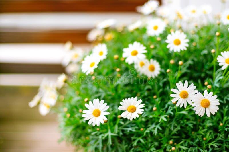 在阳台的白色开花的延命菊 免版税库存图片