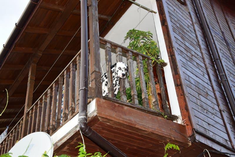 在阳台的达尔马提亚狗 免版税库存图片