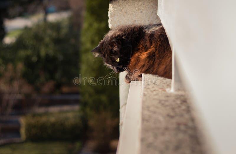 在阳台的黑尚蒂伊黄美英猫看下来和摆在日落的照相机的高处的 与大的黑暗的猫和 免版税图库摄影