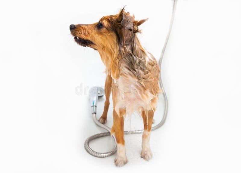 在阵雨下的设德蓝群岛牧羊犬 库存照片