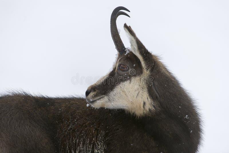 在阿尔卑斯的雪的羚羊 库存照片