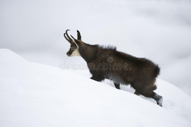在阿尔卑斯的雪的羚羊 图库摄影