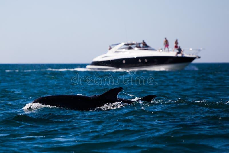 在阿尔布费拉附近的海豚 库存图片