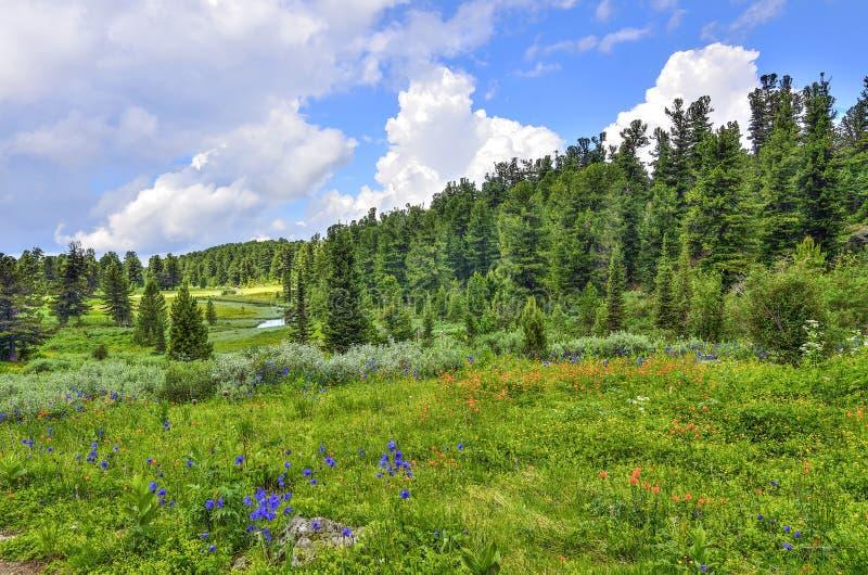 在阿尔泰山的夏天风景与小河、高山草甸和具球果森林 免版税图库摄影