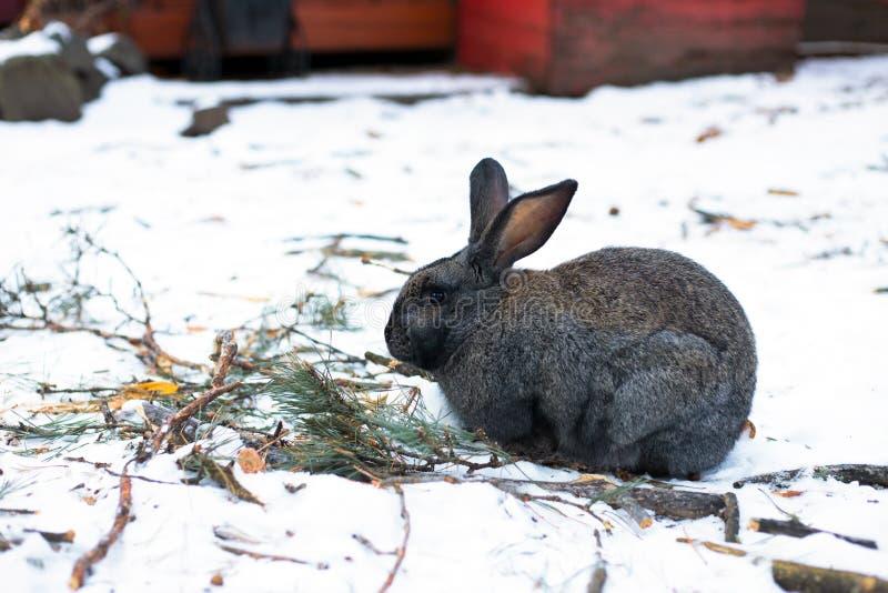 在阿尔泰山的愚钝的兔子 图库摄影