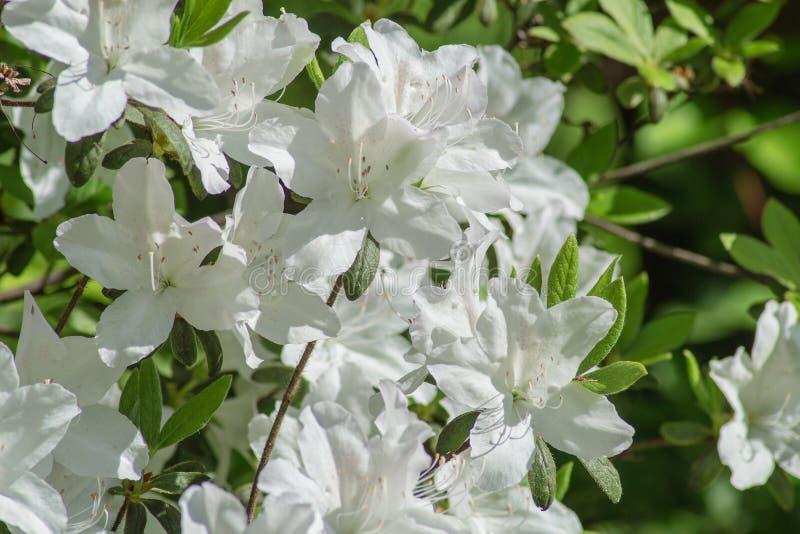 在阿巴拉契亚山脉的狂放的白色杜娟花花 库存图片