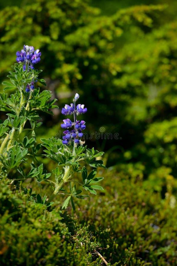 在阿拉斯加增长的美丽会开蓝色钟形花的草狂放 免版税库存图片