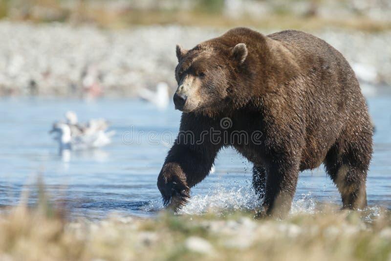 在阿拉斯加Katmai的棕熊 库存图片