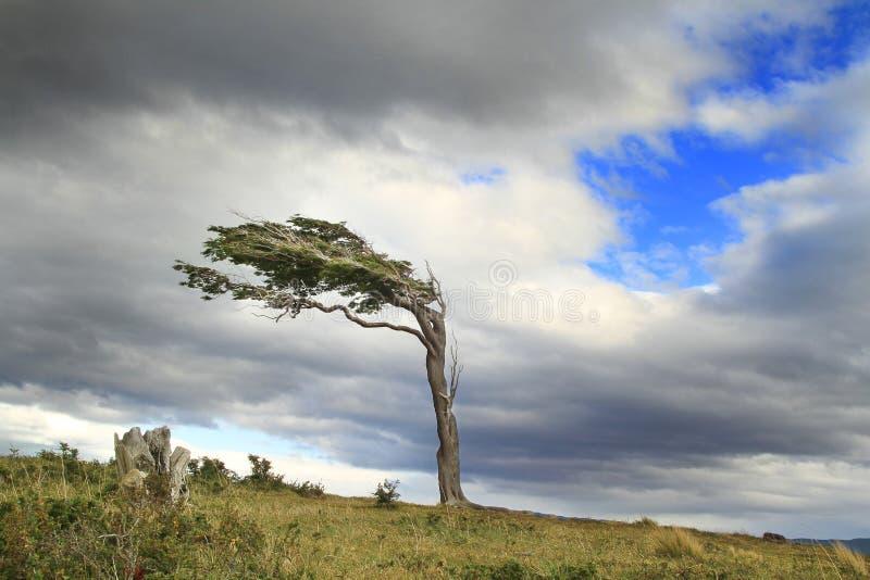 在阿根廷巴塔哥尼亚的旗子树 免版税图库摄影