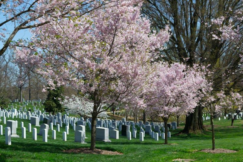 在阿灵顿公墓的桃红色樱桃树 库存图片