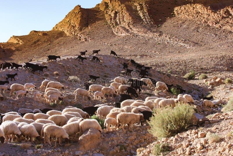 在阿特拉斯山脉的山羊 免版税库存照片