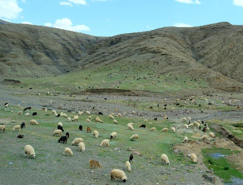 在阿特拉斯山脉踢马刺和平原吃草在摩洛哥的白色,黑和棕色绵羊和山羊 免版税库存照片