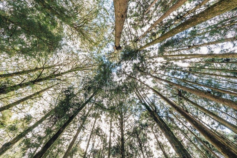 在阿里山国家森林度假区从下面观看在嘉义县,阿里山镇的柳杉树在森林里 库存照片