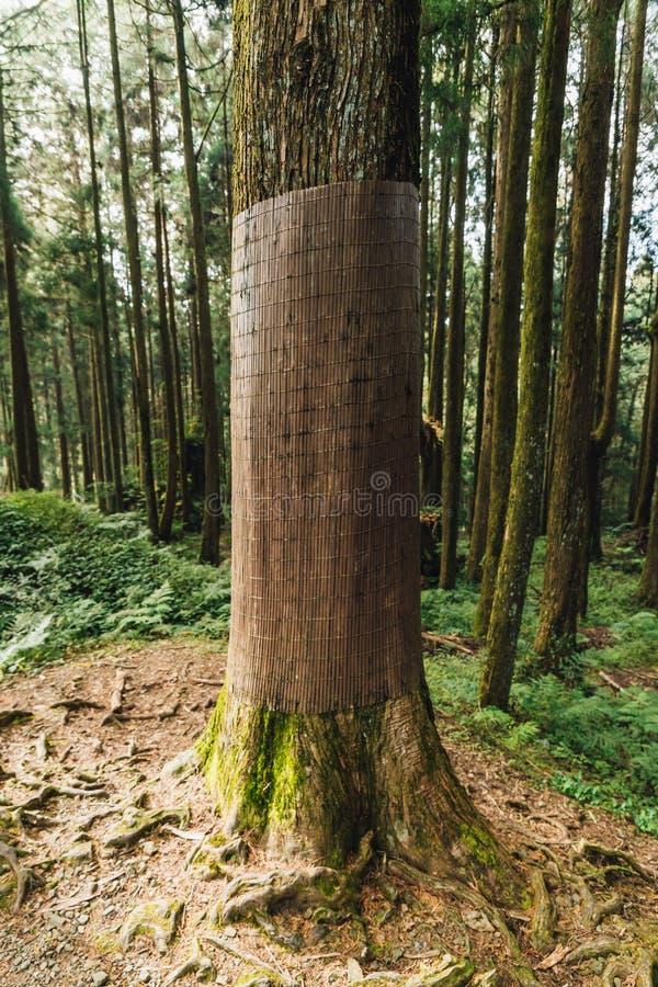 在阿里山国家森林度假区包裹与粗麻布防止变褐在森林里的冬天的柳杉树 免版税库存照片