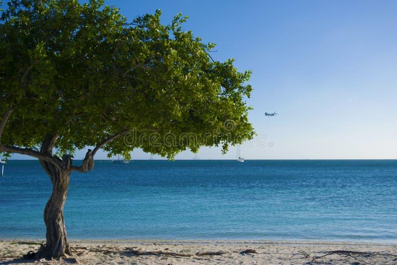 在阿鲁巴` s美丽的海滩旁边的树 库存照片
