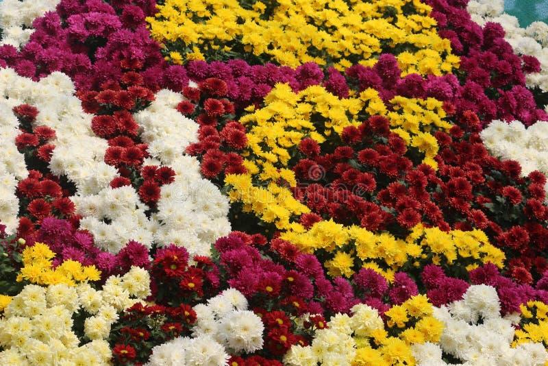 在陈列的多朵颜色菊花花 库存图片