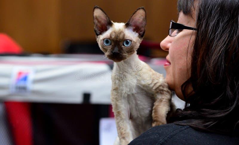 在陈列的美丽的猫 库存图片