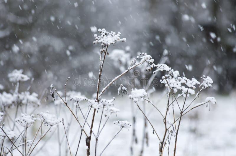在降雪期间的干伞状花的草本 图库摄影