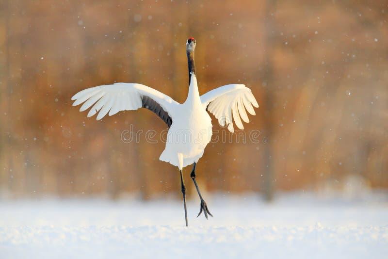在降雪的起重机 与红被加冠的起重机在草甸,北海道,日本的降雪 哺养的鸟,与雪花的冬天场面 免版税库存照片