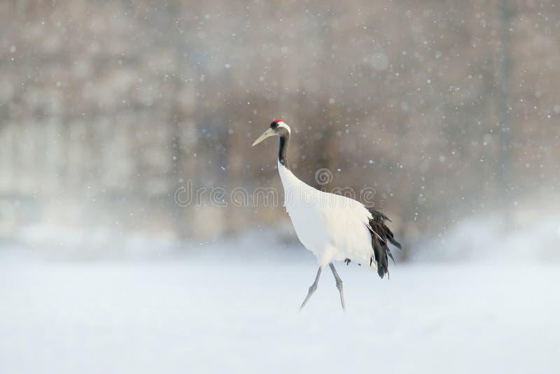 在降雪的起重机 与红被加冠的起重机在草甸,北海道,日本的降雪 哺养的鸟,与雪花的冬天场面 免版税图库摄影