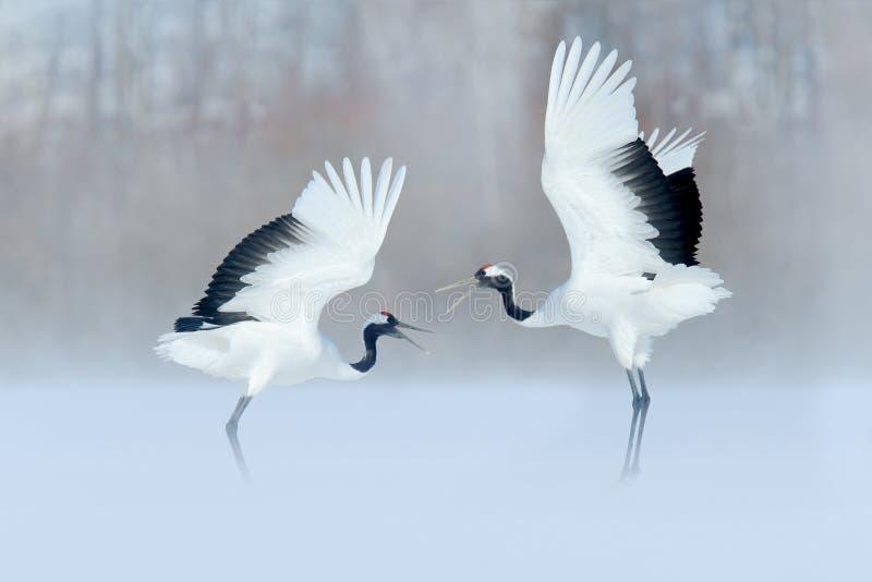 在降雪的起重机 与红被加冠的起重机在草甸,北海道,日本的降雪 哺养的鸟,与雪花的冬天场面 前夕 免版税图库摄影