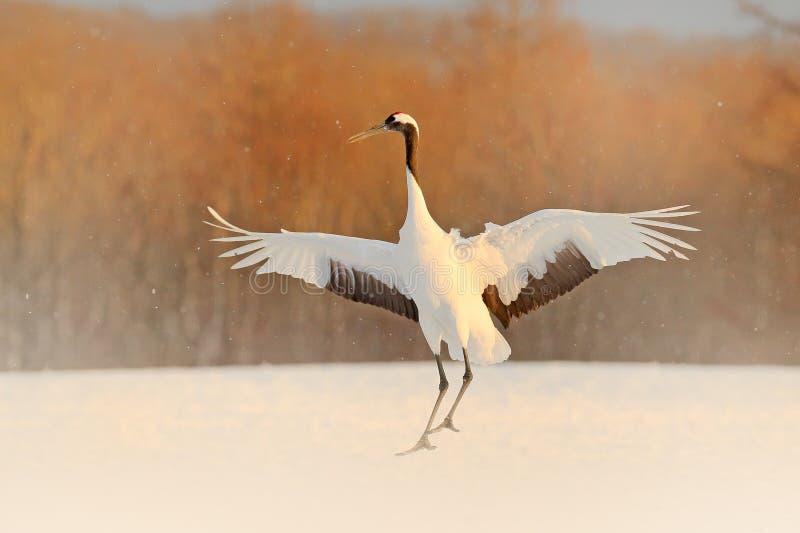 在降雪的起重机 与红被加冠的起重机在草甸,北海道,日本的降雪 哺养的鸟,与雪花的冬天场面 免版税库存图片