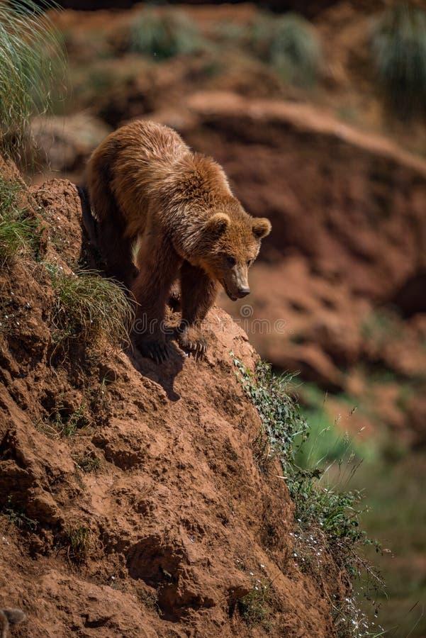 在陡峭的岩石顶部的棕熊 免版税库存图片